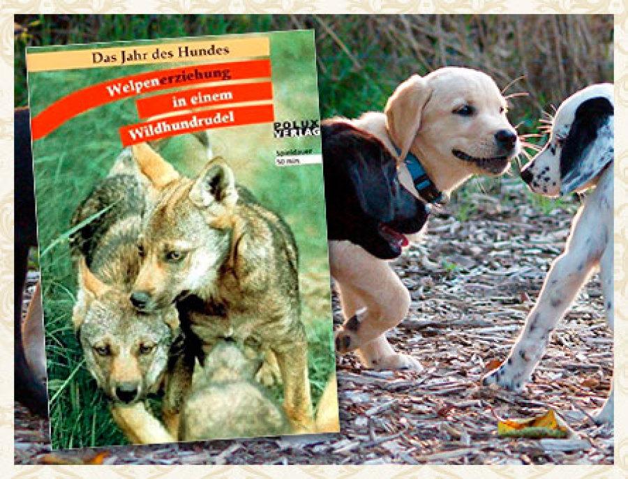 Fimfachvortrag Erziehung in einem Wildhunderudel